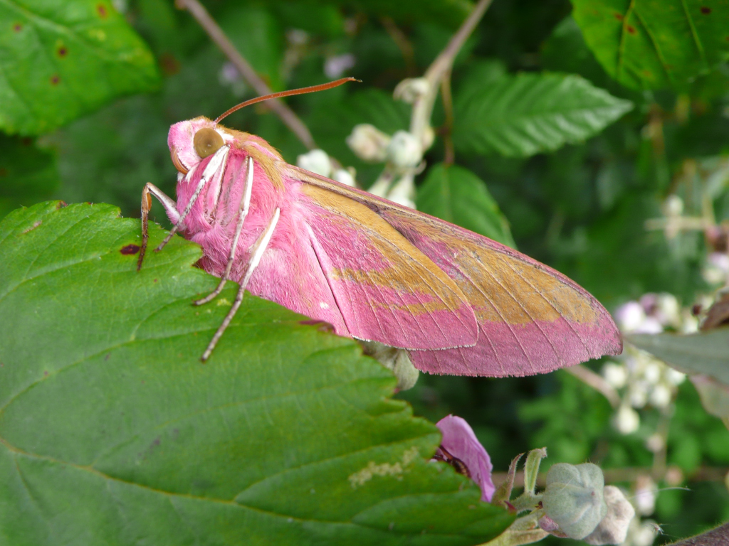 Grand sphinx de la vigne (Deilephila elpenor)